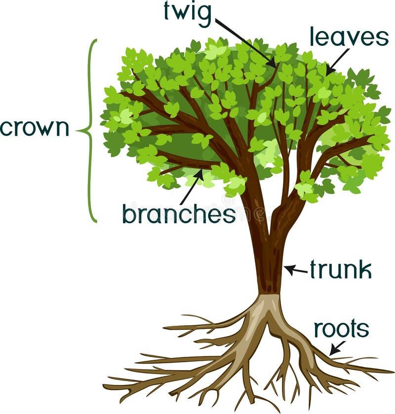 Delar av växten Morfologi av trädet med den gröna kronan, rotar systemet och titlar stock illustrationer