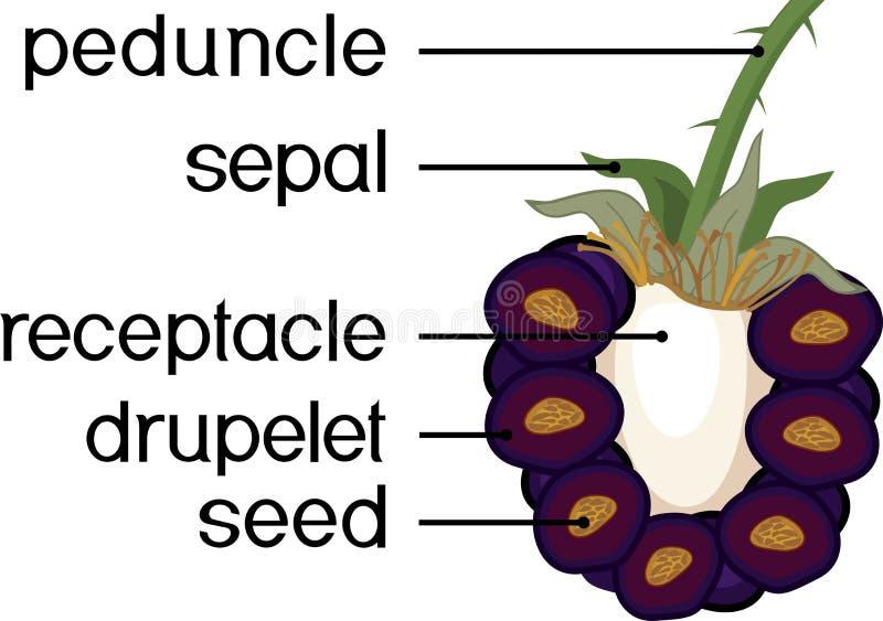 Delar av v?xten Morfologi av förenad frukt för björnbär i avsnitt royaltyfri illustrationer