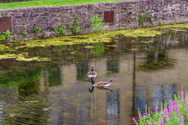 Delaware Canal Towpath and goose, Historic New Hope, PA. USA stock photo