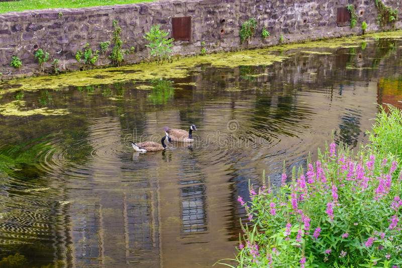 Delaware Canal Towpath and goose, Historic New Hope, PA. USA royalty free stock photography