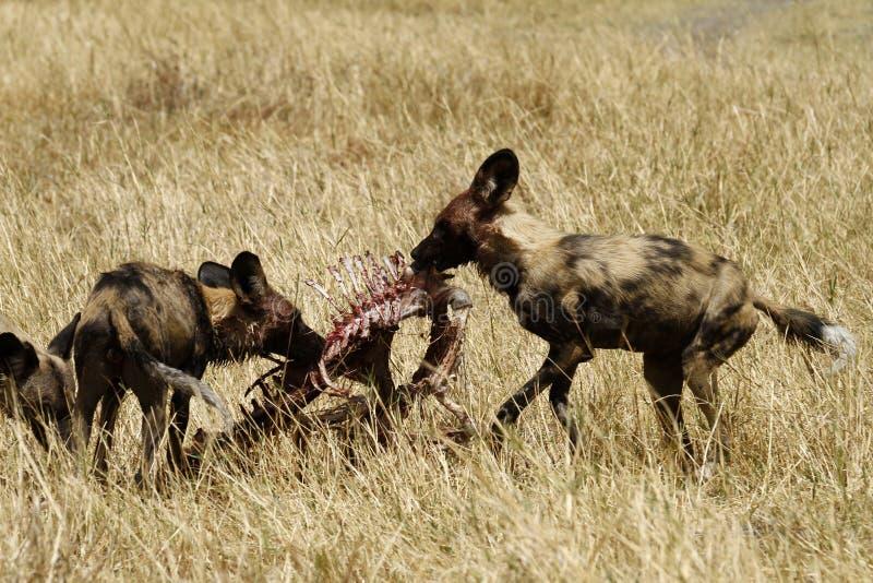 Deleitando cães selvagens africanos foto de stock royalty free