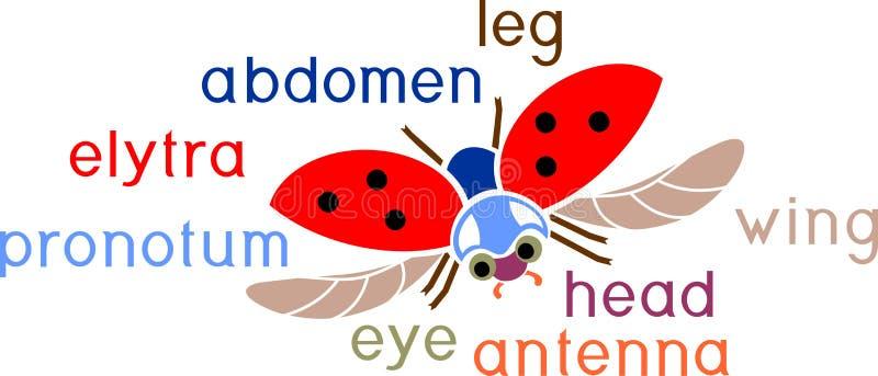 Delen van lichaam van vliegend lieveheersbeestje met titels Externe structuur van insect stock illustratie