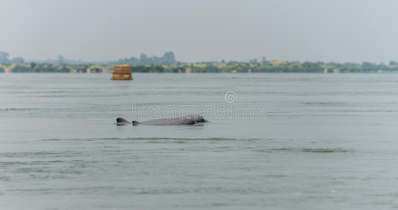 Delfín agua dulce (provincia de Kratie) Camboya marzo de 2015 imagenes de archivo