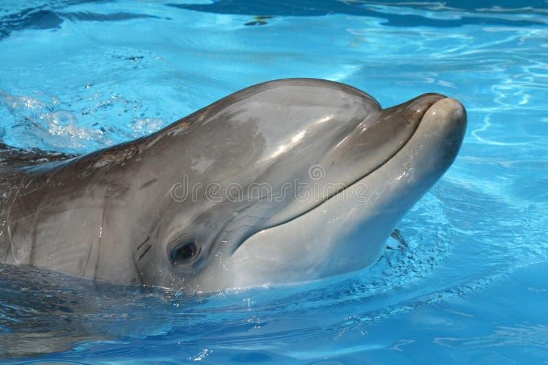 Delfín curioso fotografía de archivo