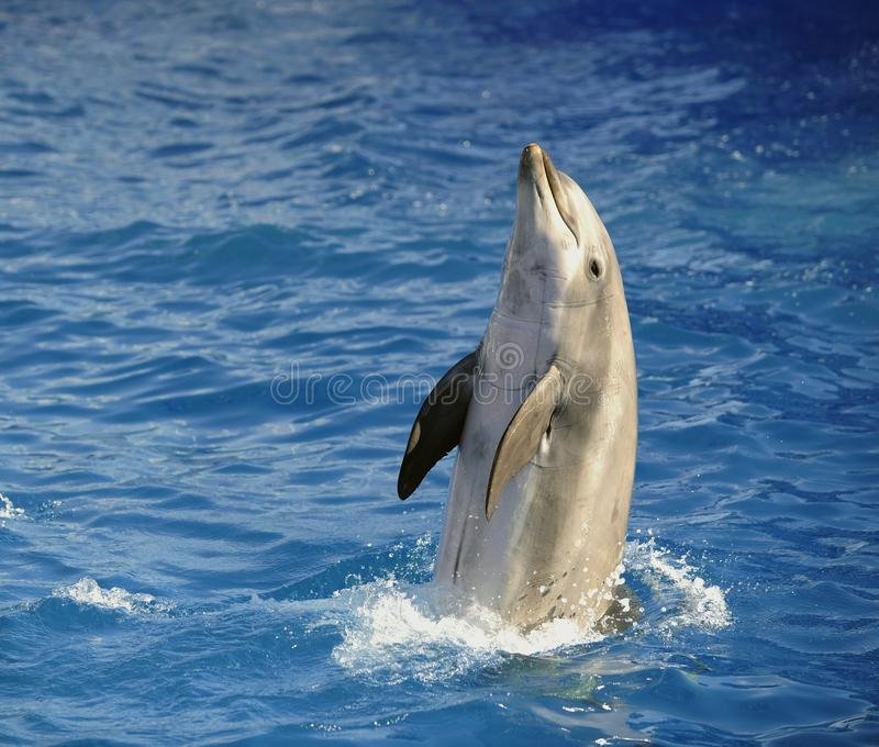 Delfín de Bottlenose. foto de archivo