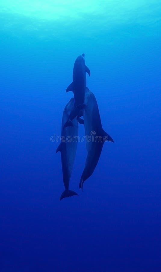 Delfín de la nariz de la botella fotografía de archivo libre de regalías