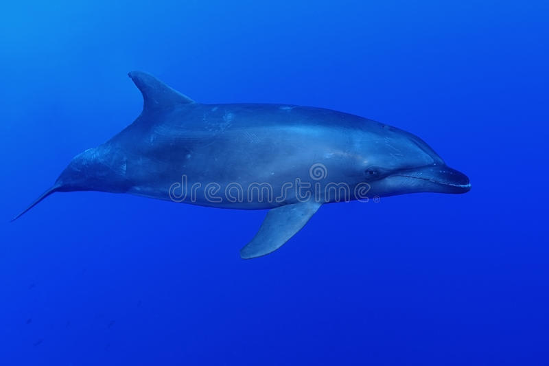 Delfín de la nariz de la botella fotografía de archivo