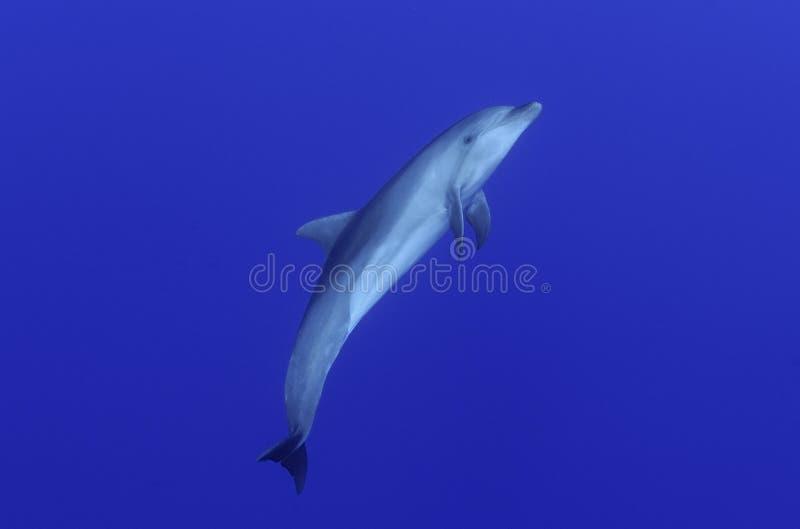 Delfín de la nariz de la botella fotos de archivo