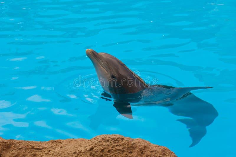 Delfín en agua azul fotos de archivo