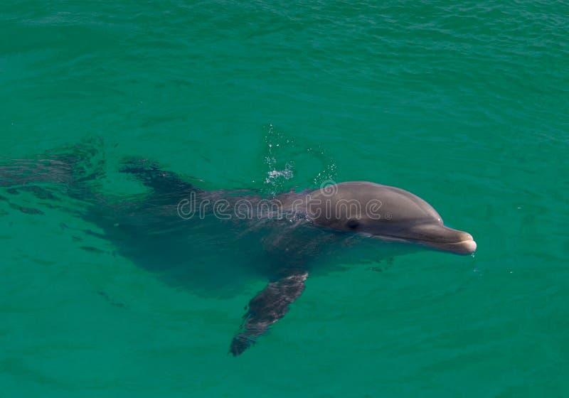 Delfín en el Océano Atlántico imagenes de archivo