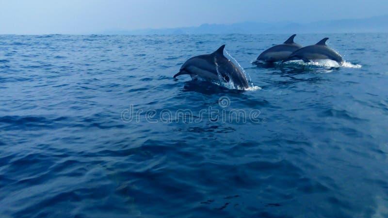 Delfín en la bahía Lampung Indonesia de Kiluan imagen de archivo