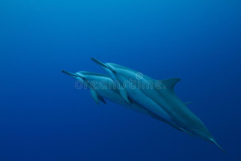 Delfín hawaiano del hilandero fotografía de archivo libre de regalías