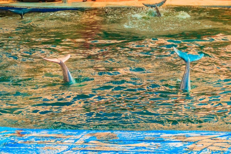 Delfín jorobado Indo-pacífico lindo (Sousa chinensis) fotos de archivo libres de regalías