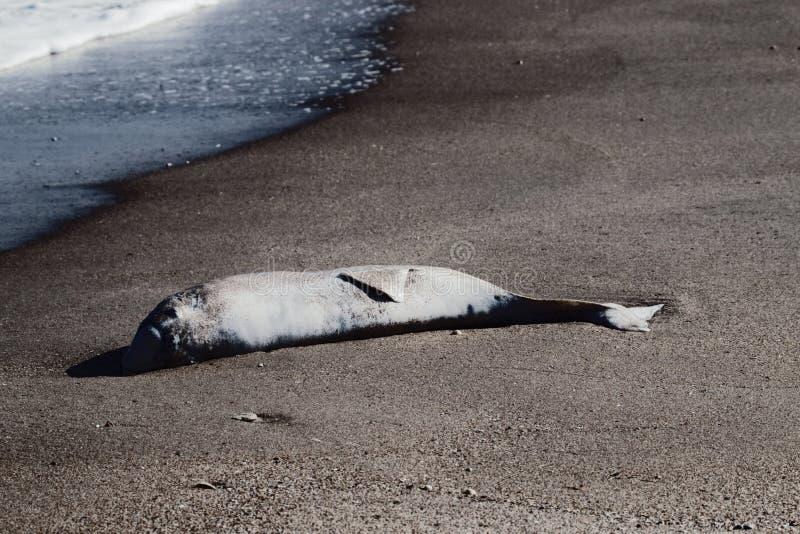 delfín muerto lanzado en la playa imagen de archivo