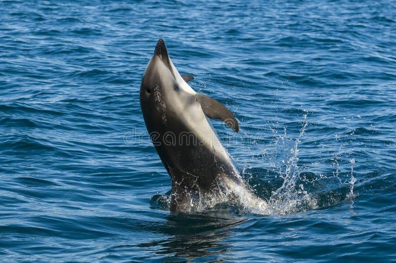 Delfín oscuro fotos de archivo libres de regalías