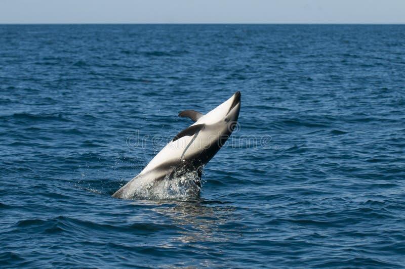 Delfín oscuro fotografía de archivo libre de regalías