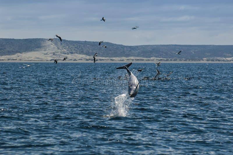 Delfín oscuro, Patagonia, la Argentina fotos de archivo