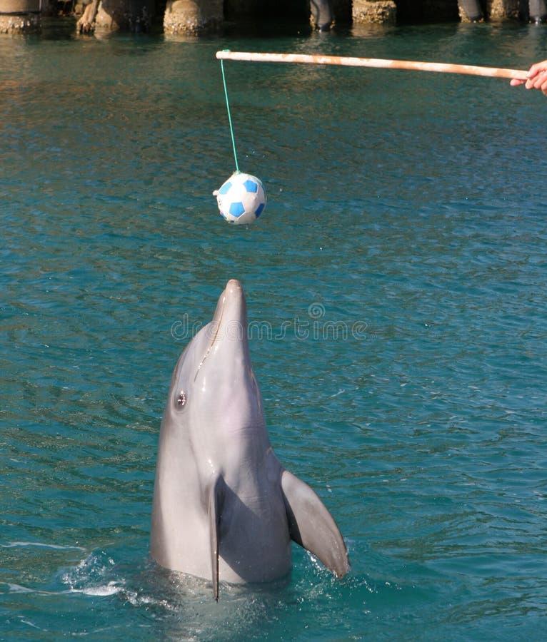 Delfín que juega con la bola fotografía de archivo libre de regalías