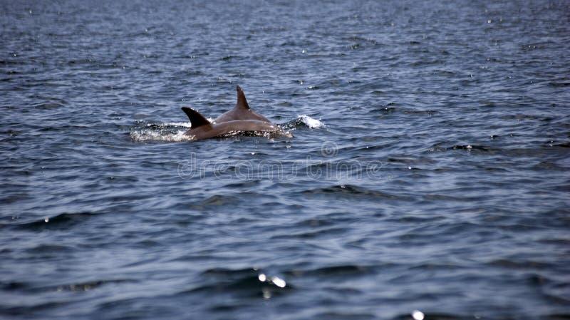 delfínes Botella-sospechados, Zanzíbar, Tanzania fotos de archivo libres de regalías