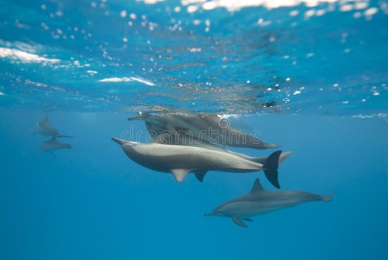 Delfínes de acoplamiento del hilandero en el salvaje. imágenes de archivo libres de regalías