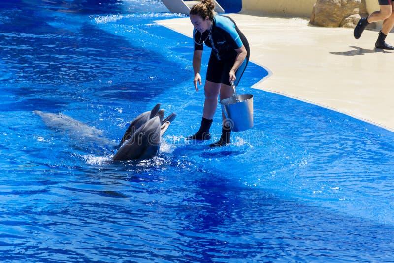 Delfínes de alimentación del instructor de la mujer en piscina del parque del agua fotografía de archivo libre de regalías