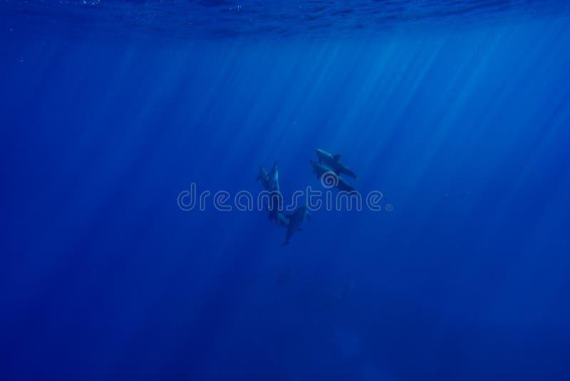 Delfínes del hilandero imagen de archivo