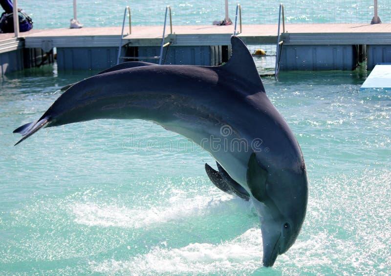 Delfínes en Cuba La acrobacia de delfínes en un parque del agua foto de archivo