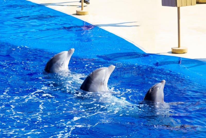 Delfínes entrenados en piscina del parque del agua fotos de archivo libres de regalías