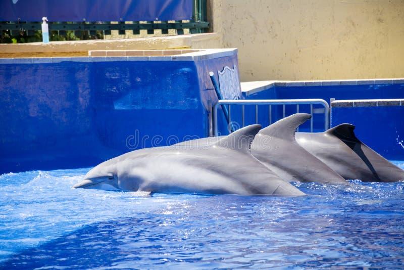Delfínes entrenados en piscina del parque del agua fotos de archivo