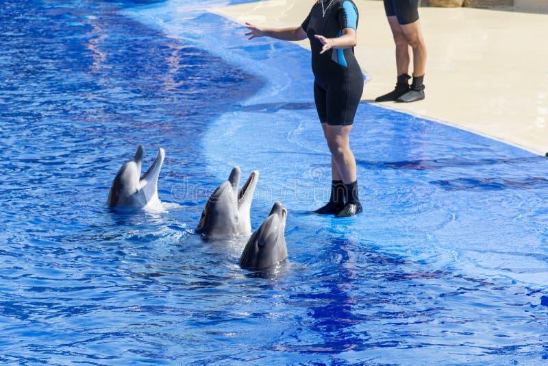 Delfínes entrenados en piscina del parque del agua foto de archivo libre de regalías