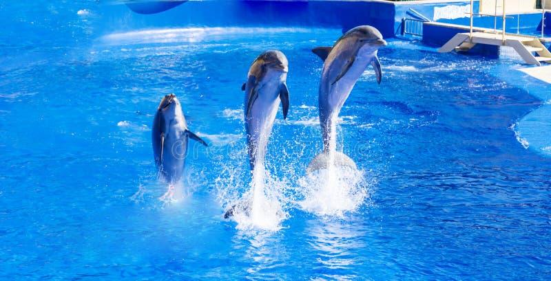 Delfínes entrenados que saltan adentro fotos de archivo