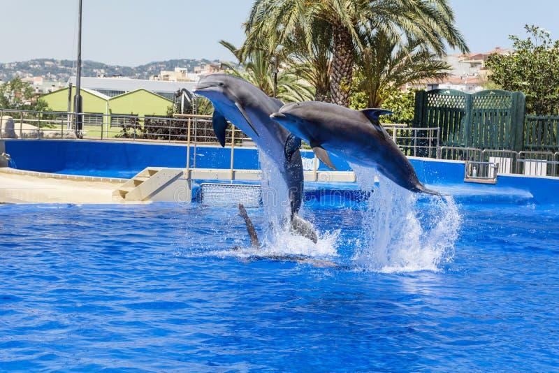 Delfínes entrenados que saltan en piscina del parque del agua imágenes de archivo libres de regalías