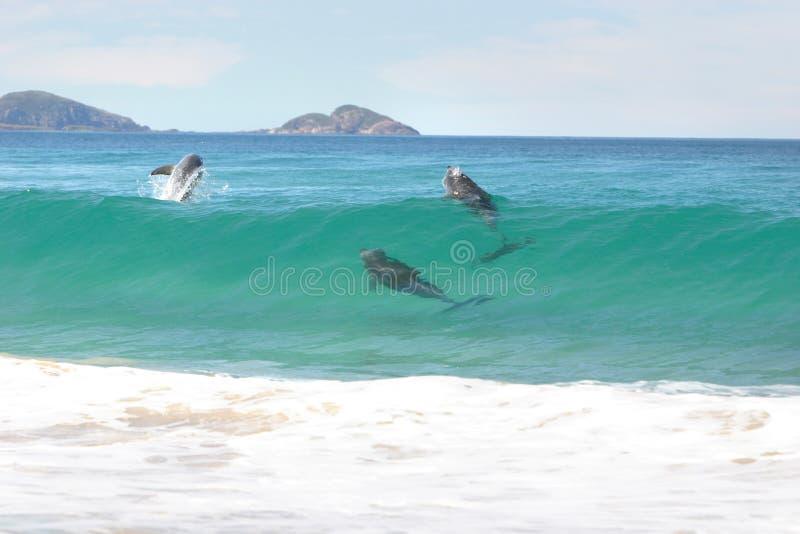 Delfínes que practican surf fotos de archivo libres de regalías