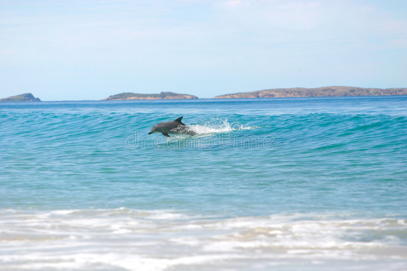 Delfínes que practican surf imagen de archivo