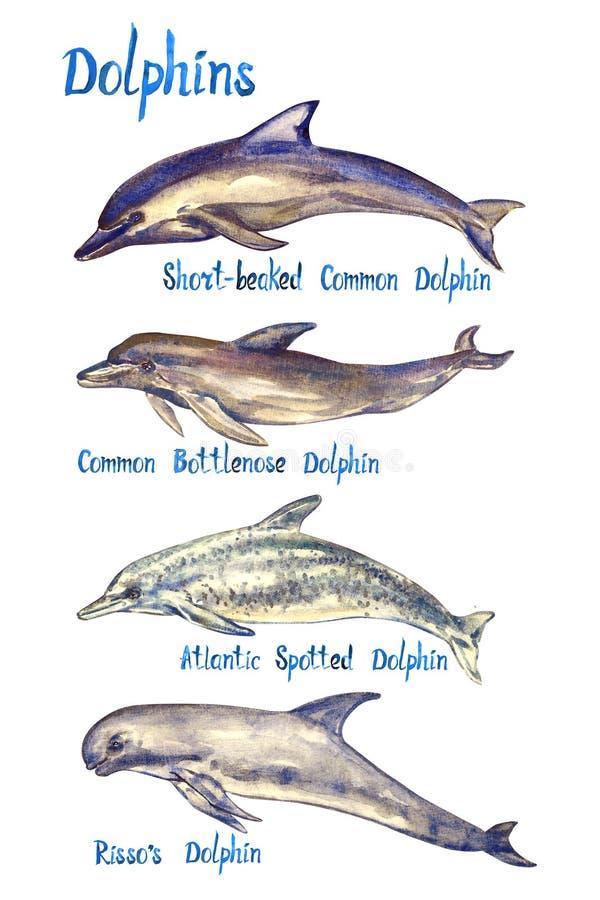 Delfinów gatunki ustawiający: Beaked, Pospolity bottlenose, Atlantyk dostrzegał delfinu s i Risso ` odizolowywających na białym t ilustracji
