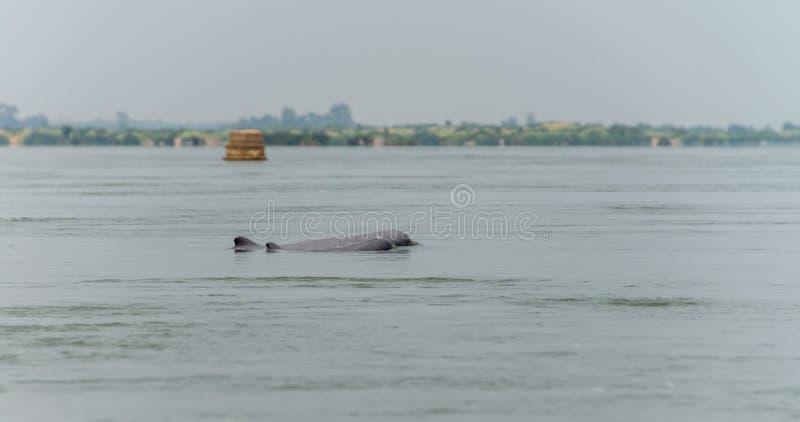 Delfin świeża woda Kambodża Mar 2015 (Kratie prowincja) obrazy stock