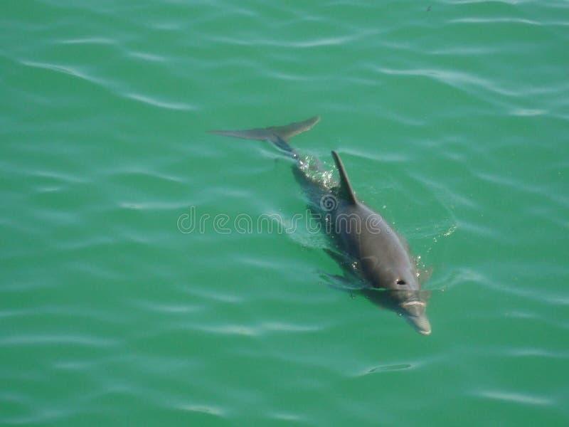 delfin royaltyfri foto