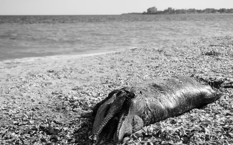 Delfin avslutar upp på stranden fotografering för bildbyråer