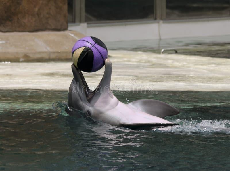Delfin Bawić się z koszykówką przy powierzchnią obrazy stock