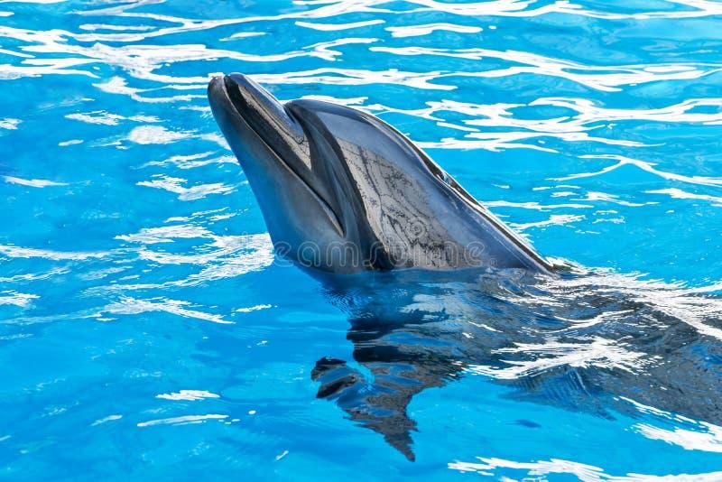 Delfin ciągnący z wody zdjęcia stock
