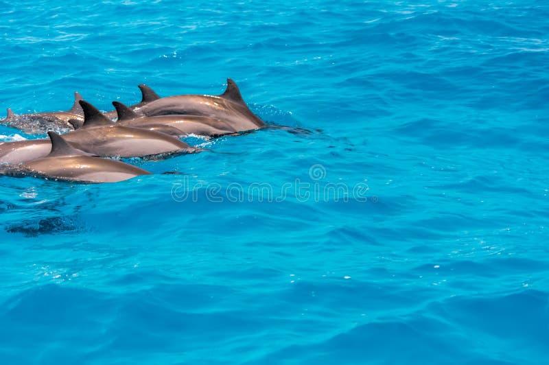 Delfin från Maldiverna royaltyfria foton