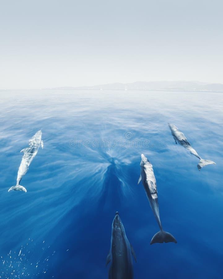 Delfin framme av yachten royaltyfria foton