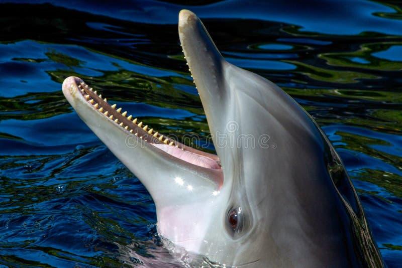 Delfin głowa obraz royalty free