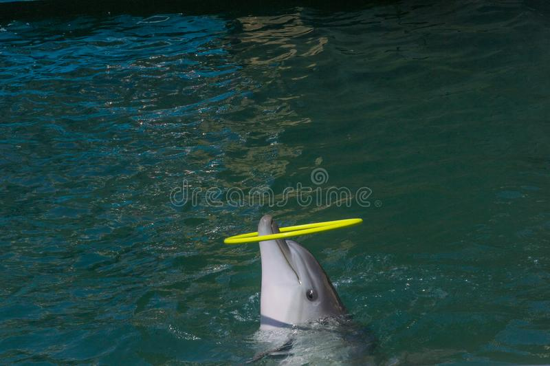 Delfin gra z hula hoop obraz stock