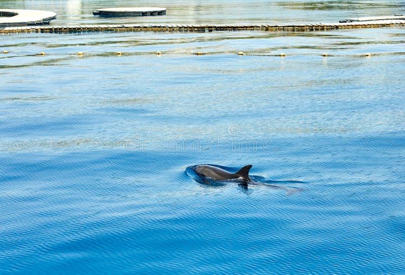 Delfin i det öppna havet simmade till yachten 2019 arkivfoton