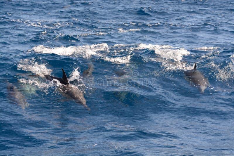 Delfin i havet arkivbild