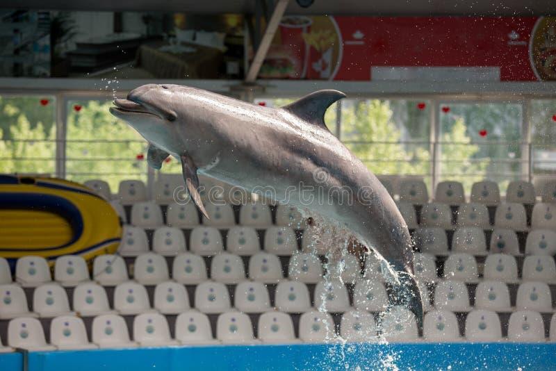 Delfin i pölleken royaltyfria bilder