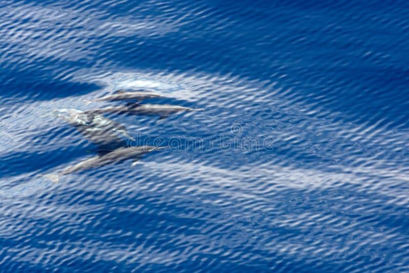 Delfin i vattnet arkivfoton