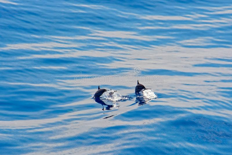 Delfin i vattnet royaltyfri foto