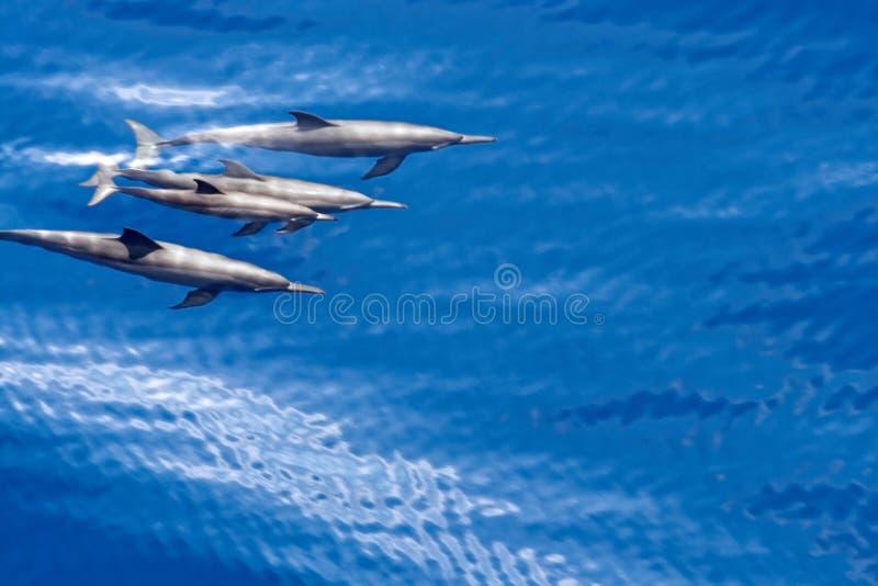Delfin i vattnet arkivfoto